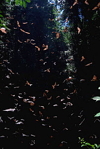 Barebacked fruit bats {Dobsonia sp} flying from Ormoru sink hole, Papua New Guinea  -  Michael Pitts