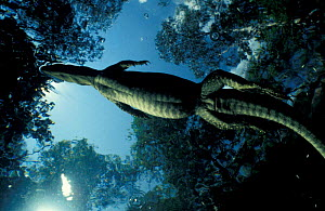 Mertens water monitor swimming {Varanus mertensi} Litchfield NP Australia - Michael Pitts