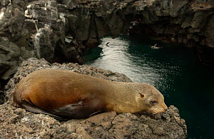 Galapagos Fur Seal on cliff above sea {Arctocephalus galapagoensis} Santiago Is, Galapagos  -  Pete Oxford
