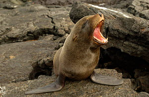 Galapagos Fur Seal mouth open yawning {Arctocephalus galapagoensis} Santiago Is, Galapagos  -  Pete Oxford