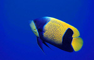 Blue-girdled (majestic) angelfish {Pomacanthus navarchus} Papua New Guinea  -  Michael Pitts