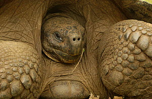 Galapagos Giant tortoise close up portrait - dome form {Geochelone elephantopus} retreating into shell. Galapagos Is - Pete Oxford
