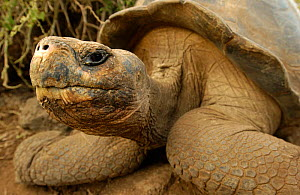 Galapagos Giant tortoise portrait {Geochelone elephantopus} Galapagos Is  -  Pete Oxford