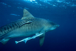 Tiger shark {Galeocerdo cuvieri} with remora fish. South Africa, Atlantic. NB stripes  -  Michael Pitts