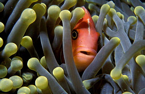 Pink anemonefish {Amphiprion perideraion} in anemone. Palau, Micronesia  -  Michael Pitts