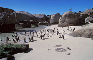 Black footed / Jackass penguins on beach {Spheniscus demersus} Cape Town, South Africa  -  Hugh Pearson
