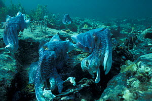 Giant cuttlefish males displaying {Sepia apama} Whyalla, South Australia  -  Hugh Pearson