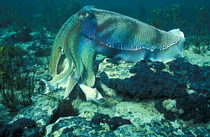 Giant cuttlefish male display with pulses of colour {Sepia apama} Whyalla, South Australia  -  Hugh Pearson
