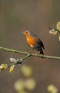 Robin perched {Erithacus rubecula} UK - Paul Hobson