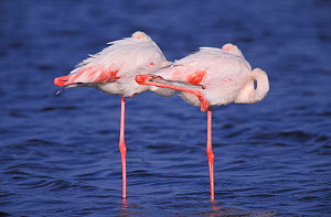 Two Greater flamingoes sleeping on one leg {Phoenicopterus ruber} Namibia  -  Paul Hobson