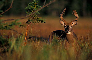 Whitetail deer with antlers in velvet {Odocoileus virginianus} summer, Quebec, Canada  -  Jose Schell