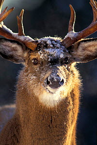 Male Whitetail deer head portrait {Odocoileus virginianus} Anticosta Is,  -  Louis Gagnon