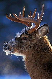 Male Whitetail deer head profile portrait {Odocoileus virginianus} Anticosta Is, - Louis Gagnon