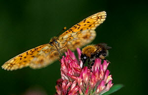 High brown fritillary butterfly {Argynnis adippe} + Bumble bee feed on flower nectar, Sweden  -  Bengt Lundberg