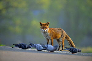 Urban Red fox {Vulpes vulpes} watching Pigeons feeding, London, UK  -  Laurent Geslin