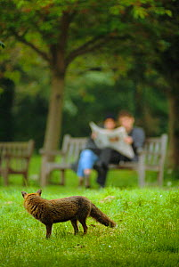 Urban Red fox watches people on park bench {Vulpes vulpes} London, UK  -  Laurent Geslin