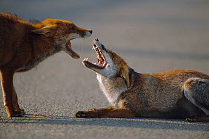 Two dominant male urban Red foxes fighting on road, mouths open {Vulpes vulpes} London, UK  -  Laurent Geslin
