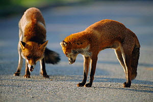 Resident female urban Red fox (foreground) repelling intruder male {Vulpes vulpes} London, UK  -  Laurent Geslin