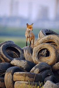 Male urban Red fox on tyre dump {Vulpes vulpes} London, UK  -  Laurent Geslin