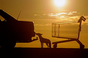 Silhouette of urban Red fox with car and shopping trolley {Vulpes vulpes} London, UK  -  Laurent Geslin