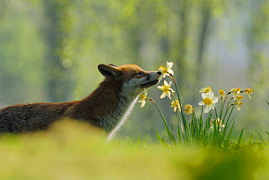 Male urban Red fox sniffing daffodils in garden {Vulpes vulpes} London, UK  -  Laurent Geslin