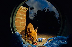 Mangy urban Red fox feeding on rubbish from bin {Vulpes vulpes} London, UK  -  Laurent Geslin