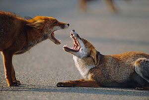 Two male urban Red foxes, mouths open,  one in submissive posture {Vulpes vulpes} London, UK - Laurent Geslin
