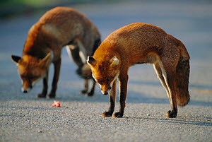 Two male urban Red foxes, territorial posture at junction of territories {Vulpes vulpes} London, UK  -  Laurent Geslin