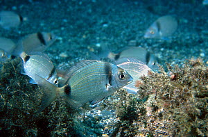 Shoal of Two banded bream {Diplodus vulgaris} Mediterranean, Spain  -  Jose B. Ruiz