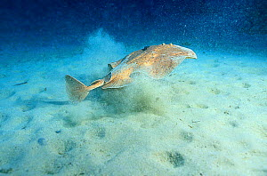Marbled electric ray swims away from sandy seabed {Torpedo marmorata} Mediterranean  -  Jose B. Ruiz