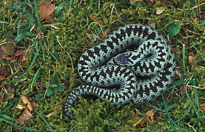 Male Adder showing distinctive zig zag markings {Vipera berus}. Peak District NP, England UK  -  Geoff Scott-Simpson
