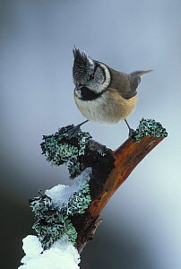 Crested tit {Lophophanes cristatus} winter Scotland - Geoff Scott-Simpson