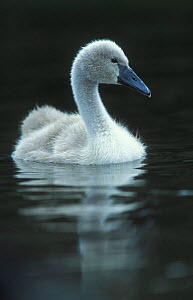 Mute swan cygnet on water {Cygnus olor} Cheshire, England, UK  -  Geoff Scott-Simpson