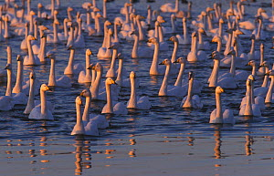 Flock of whooper swans on water in winter {Cygnus cygnus} Martin Mere WWT, Lancashire, England, UK - Geoff Scott-Simpson