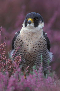 Peregrine falcon portrait in Heather {Falco peregrinus} UK - Geoff Scott-Simpson
