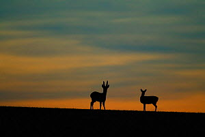 Roe deer pair silhouetted at dawn {Capreolus capreolus} Hampshire, UK - TJ Rich