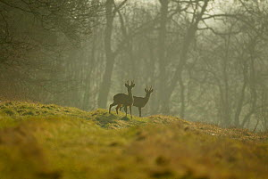 Roe deer bucks in morning mist on edge of woodland {Capreolus capreolus} Hampshire, UK - TJ Rich
