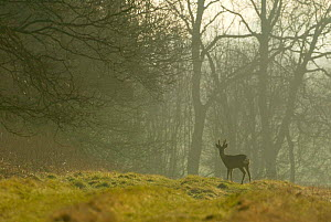 Roe deer buck in morning mist on edge of woodland {Capreolus capreolus} Hampshire, UK - TJ Rich