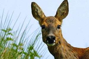 Roe deer head portrait {Capreolus capreolus} Grampian, UK - TJ Rich