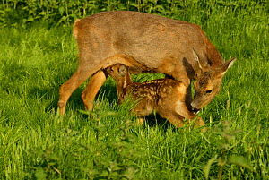 Roe deer mother suckling fawn {Capreolus capreolus}  UK  -  TJ Rich