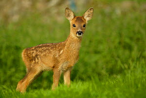 Roe deer fawn (3-weeks-old) {Capreolus capreolus} Grampian, UK - TJ Rich