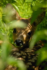 Roe deer fawn, 3-weeks-old {Capreolus capreolus}  UK - TJ Rich