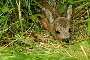 Three-day-old Roe deer fawn lying in vegetation {Capreolus capreolus} UK - TJ Rich