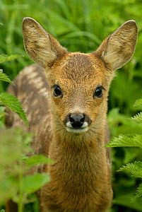 Roe deer fawn portrait, 3-weeks-old, {Capreolus capreolus} Grampian, UK - TJ Rich