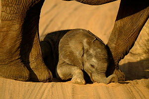 One-week-old baby African elephant playing in sand between mother's legs {Loxodonta africana} Samburu NP, Kenya - TJ Rich