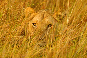 Juvenile lion lying hidden in grass {Panthera leo} Masai Mara, Kenya - TJ Rich