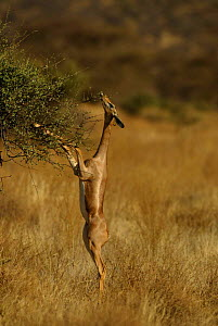 Gerenuk feeding standing on back legs {Litocranius walleri} Samburu, Kenya  -  TJ Rich