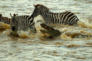 Nile crocodile attempting to take zebra during crossing of Mara river {Crocodylus niloticus} Masai Mara, Kenya - TJ Rich