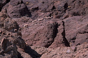 Desert Bighorn sheep {Ovis canadensis} Colorado river, Arizona, USA  -  Patricio Robles Gil