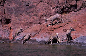 Desert Bighorn sheep drinking {Ovis canadensis} Colorado river, Arizona, USA  -  Patricio Robles Gil